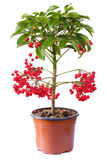 Blossoming plant of ardisia in flowerpot Stock Photography