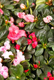 Blossoming plant of azalea Stock Images