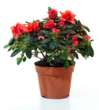 Blossoming plant of azalea Royalty Free Stock Image