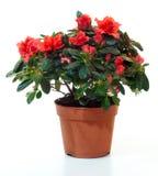 Blossoming plant of azalea royalty free stock image
