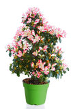 Blossoming plant of azalea Royalty Free Stock Photography