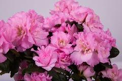 Blossoming plant of azalea in flowerpot. stock photos