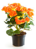 Blossoming plant of begonia Stock Images