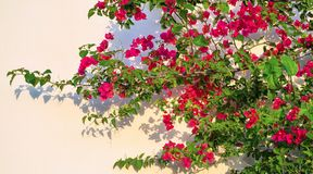 The blossoming plant bush against a wall Royalty Free Stock Images