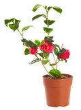 Blossoming plant of camellia Stock Photos