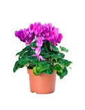 Blossoming plant of cyclamen in flowerpot isolated on white background. Blossoming plant of cyclamen in flowerpot isolated on white royalty free stock image