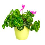 Blossoming plant of cyclamen in flowerpot Stock Photo