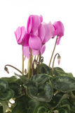 Blossoming plant of cyclamen in flowerpot isolated on white Stock Images