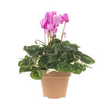 Blossoming plant of cyclamen in flowerpot isolated on white Royalty Free Stock Photo