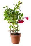 Blossoming plant of in flowerpot royalty free stock photography