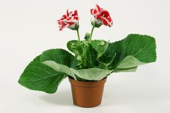 Blossoming plant of Gloxinia in flowerpot. royalty free stock images