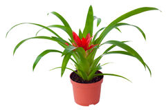 Blossoming plant of guzmania in flowerpot isolated on white. Blossoming plant of guzmania in the flowerpot isolated on white stock photo