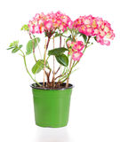 Blossoming plant of hydrangea in green flowerpot Stock Photo