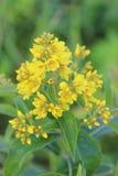 Blossoming plant Lysimachia vulgaris (garden loosestrife) Royalty Free Stock Images