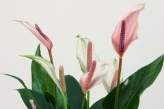 Blossoming plant of pink anthurium. royalty free stock photo