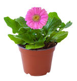 Blossoming plant of pink gerbera in flowerpot isolated on white. Stock Image