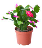 Blossoming plant of Schlumbergera royalty free stock photo