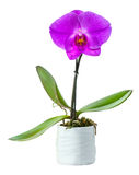 Blossoming plant of small orchid Stock Image