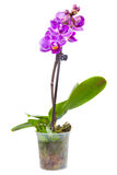 Blossoming plant of small orchid Royalty Free Stock Photo