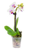 Blossoming plant of small orchid Royalty Free Stock Photography