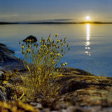 Blossoming plant at sunset on Ladoga lake Stock Photography