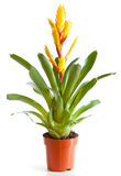 Blossoming plant of vriesia Royalty Free Stock Photography