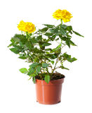 Blossoming plant of yellow rose Stock Photography