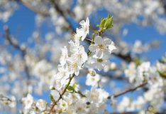 Blossoming plum Royalty Free Stock Images