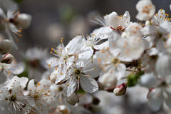 Blossoming plum. Royalty Free Stock Photography