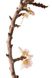 Blossoming Plum Branch Isolated Royalty Free Stock Photo