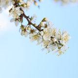 Blossoming plum branch on sky background Stock Photo