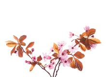 Blossoming Plum branches isolated on white background.  royalty free stock photos