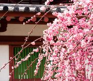 Blossoming plum in a buddhist temple Stock Photography
