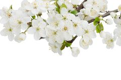 Blossoming Plum Flowers. Against white background Stock Photo