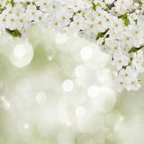 Blossoming Plum Flowers in garden Royalty Free Stock Photo