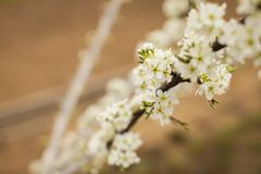 Blossoming of plum flowers in spring time with green leaves. Beautyful background with branch with white flowers royalty free stock photography