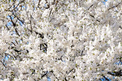 Blossoming of plum flowers Stock Images