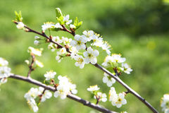 Blossoming plum in the spring Royalty Free Stock Image