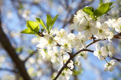 Blossoming plum in the spring Royalty Free Stock Images