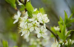 Blossoming plum tree Royalty Free Stock Photo