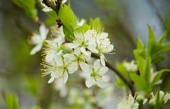 Blossoming plum tree Royalty Free Stock Photo