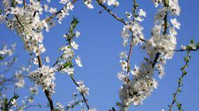 Blossoming plum tree royalty free stock photography