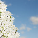 Blossoming Plum Tree Royalty Free Stock Photos