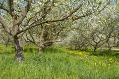 Blossoming plum trees Royalty Free Stock Photo