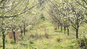 Blossoming plum trees garden. Beautiful spring background of nature. Blossoming plum trees garden in the morning stock video footage
