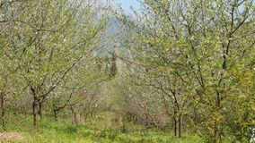 Blossoming plum trees garden. Beautiful spring background of nature. Blossoming plum trees garden in the morning stock footage