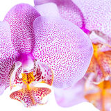 Blossoming pointed lilac orchid phalaenopsis is isolated on whit Stock Photos