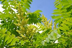 The blossoming poison ivy tannic Rhus coriaria L. against the background of the sky.  royalty free stock image