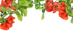 Blossoming pomegranate tree branches on white Stock Images