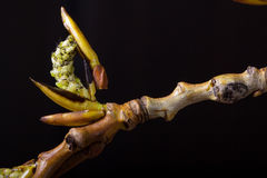 The blossoming poplar branch. Wildlife. Spring awakening. Stock Photography